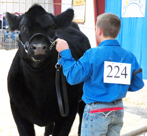 Cash Bixby of Panhandle FFA earned Reserve Grand Champion Heifer with his Maine-Anjou Heifer. Photo courtesy of Kinsey Brown
